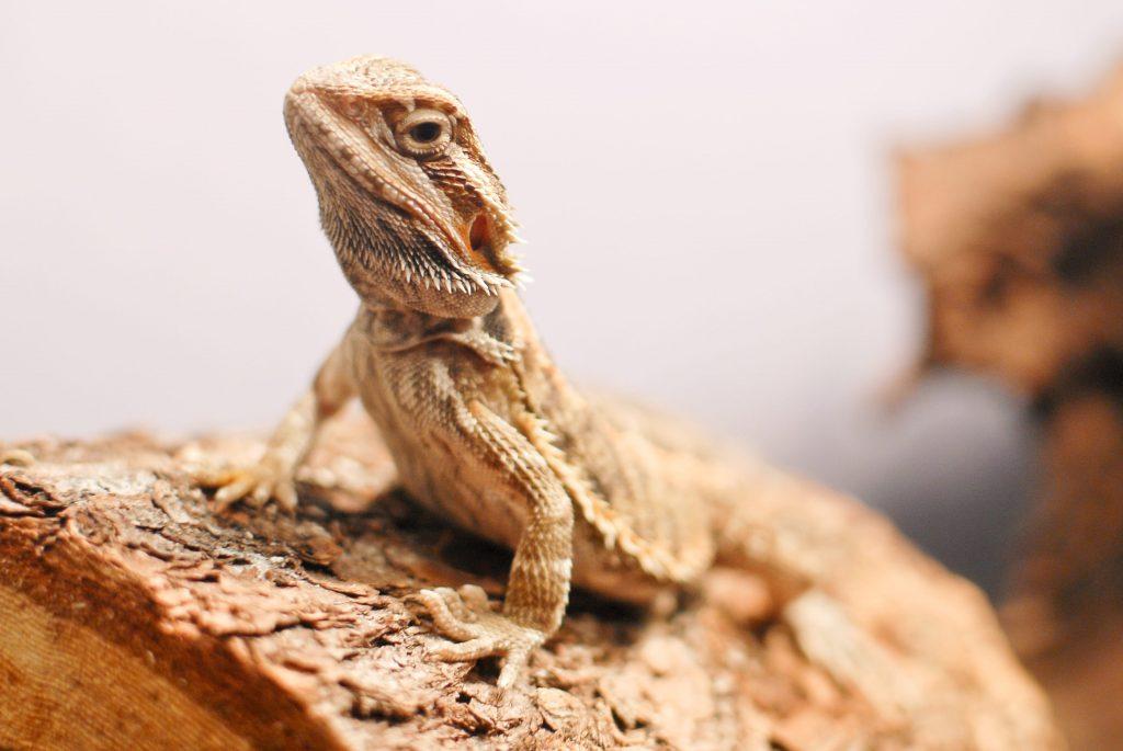 Dragon barbu dans un terrarium