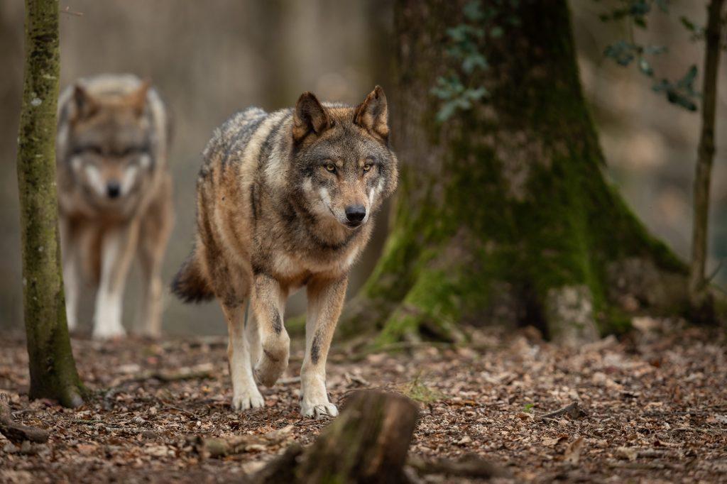 loups gris