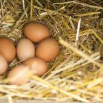Quelle race de poule adopter pour avoir des œufs ?
