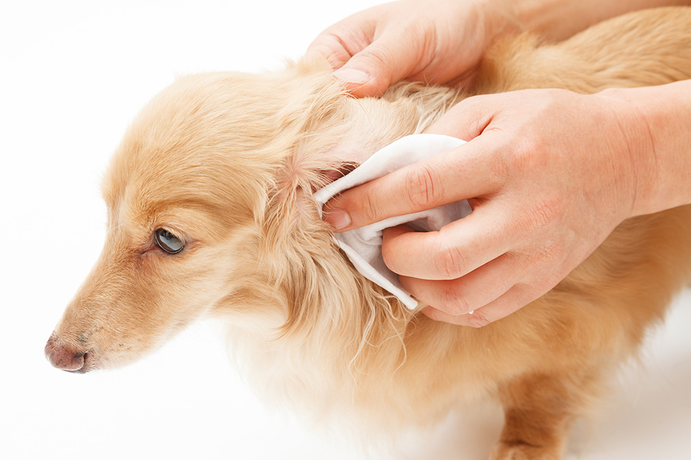 nettoyer les oreilles du chien
