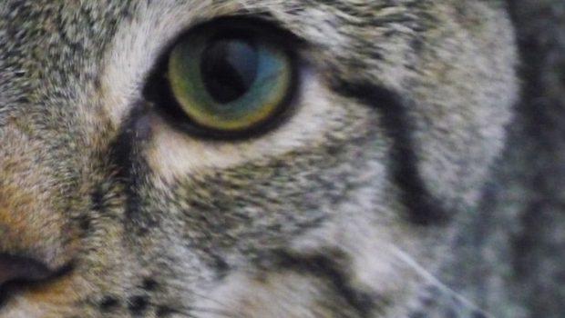 Les maladies des yeux du chat