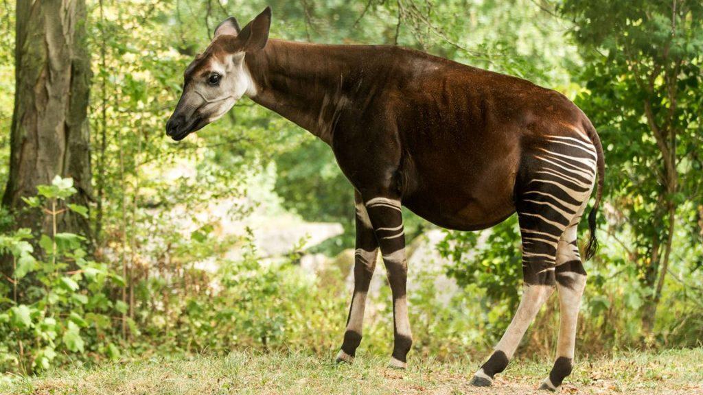 Okapi dans la forêt