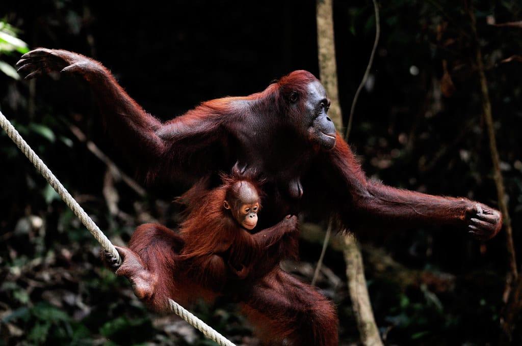 orang outan dans un arbre