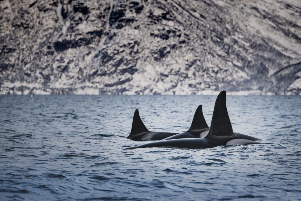 2 orques dans l'eau