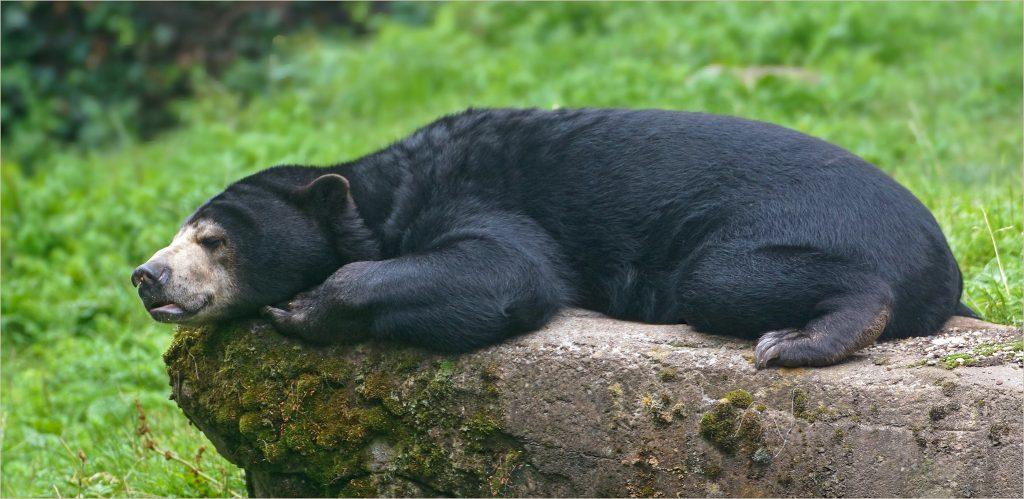 Ours malais à Bornéo