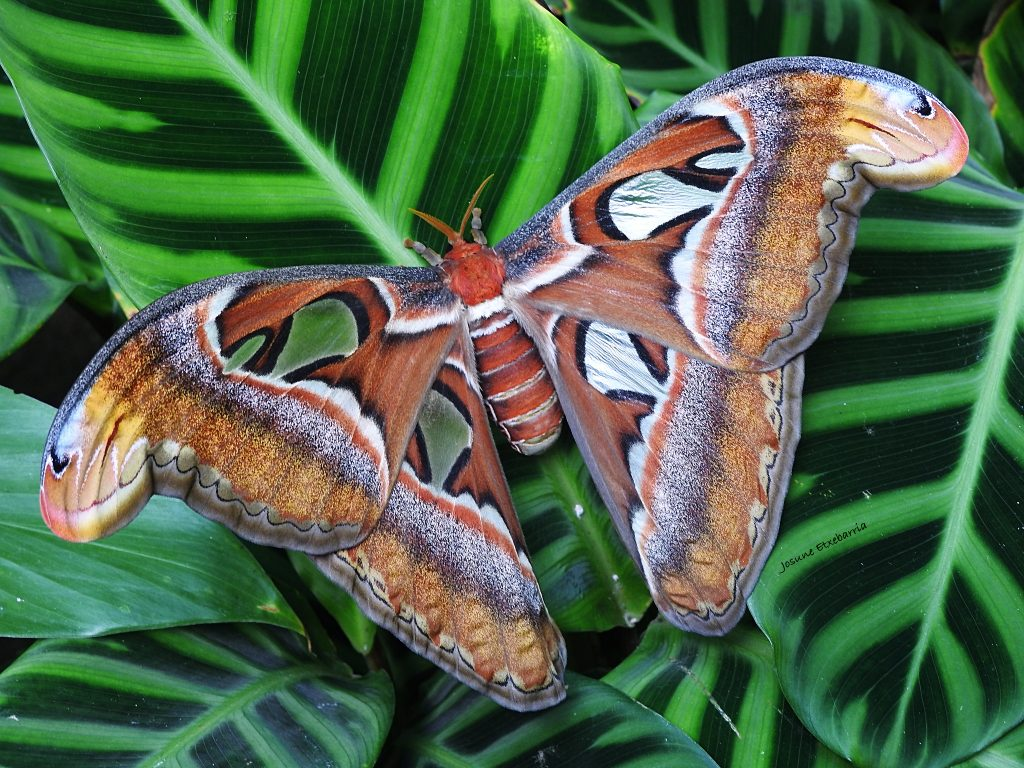 Le papillon Atlas