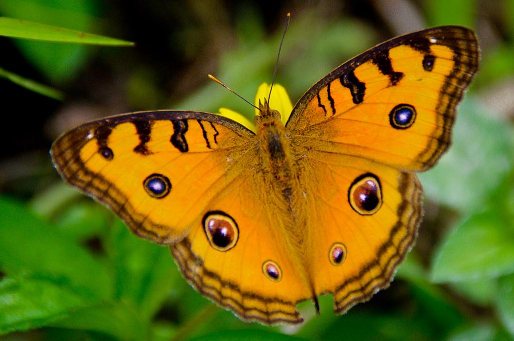 Papillon à Bali Peacock Pansy