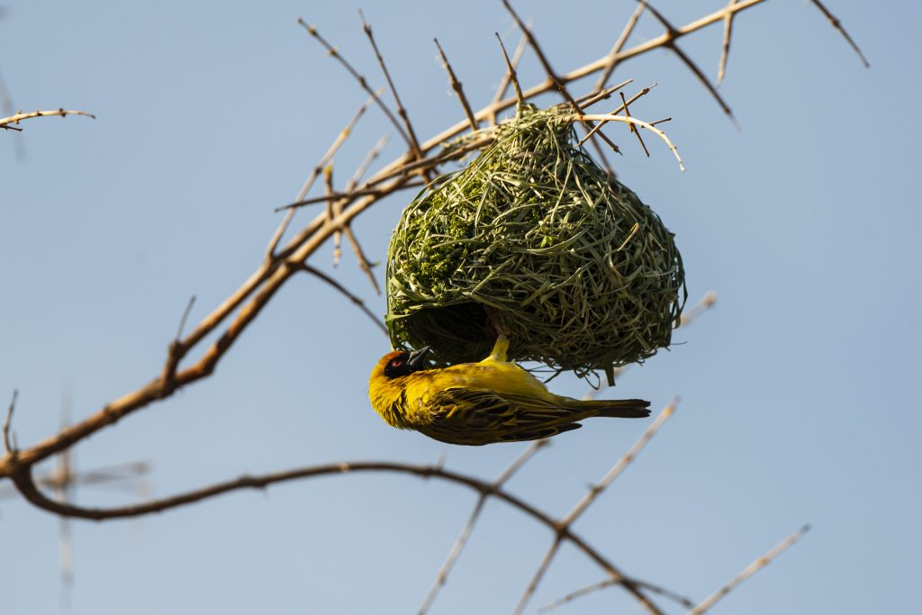 Passereau qui construit son nid
