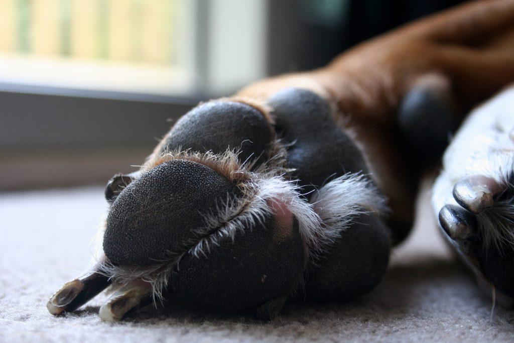 coussinet du chien