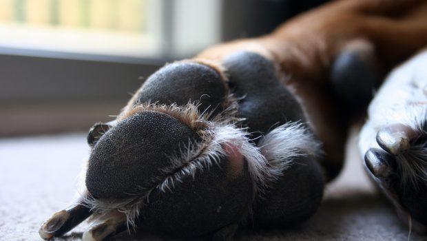 Pododermatite chez le chien : causes, symptômes et traitement
