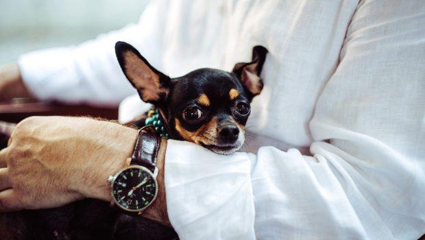 Top 10 des races de chiens les plus petites au monde
