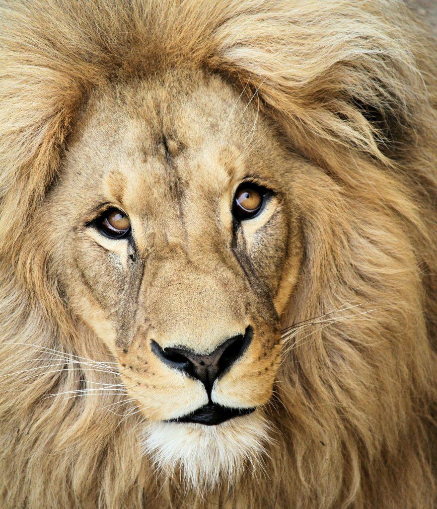 photo d'un lion plein cadre