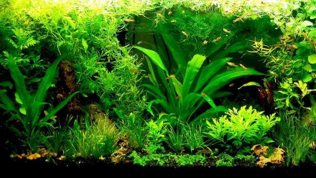 Quelles plantes d'aquarium pour poissons rouges