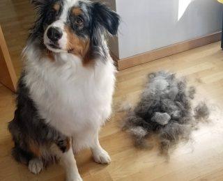 Mon chien perd ses poils : 8 explications et conseils