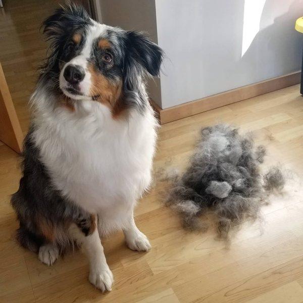 Mon chien perd ses poils : causes et traitements