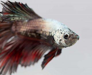L'aquarium du poisson combattant : conseils & infos