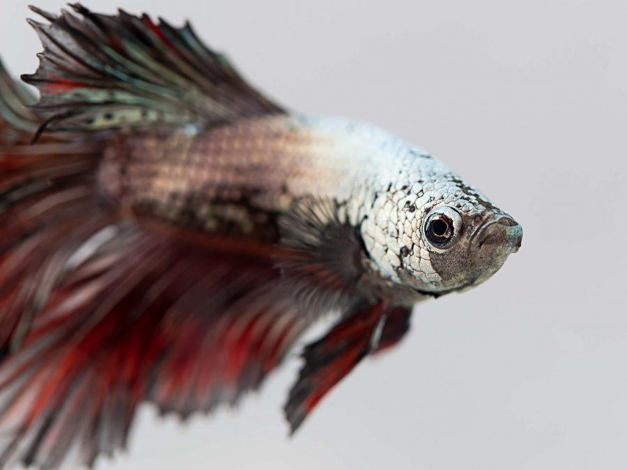 Quale acquario per un pesce da combattimento?