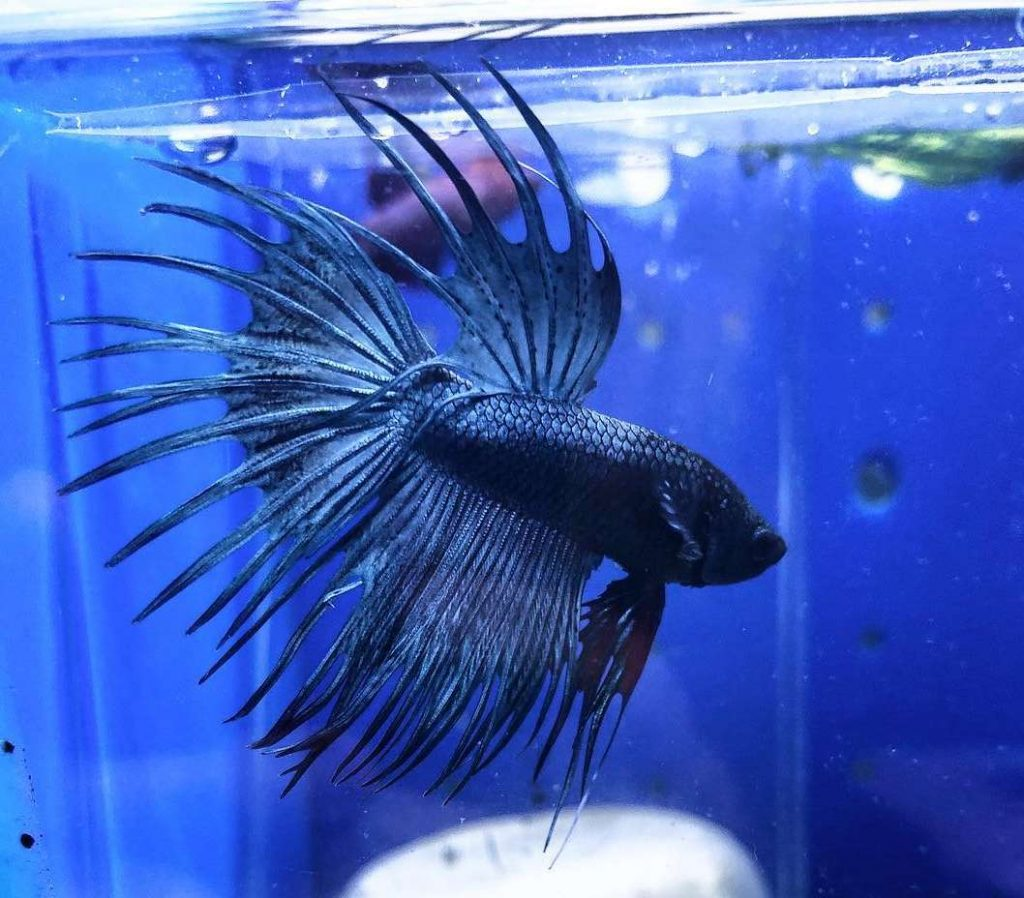 poisson combattant crowntail