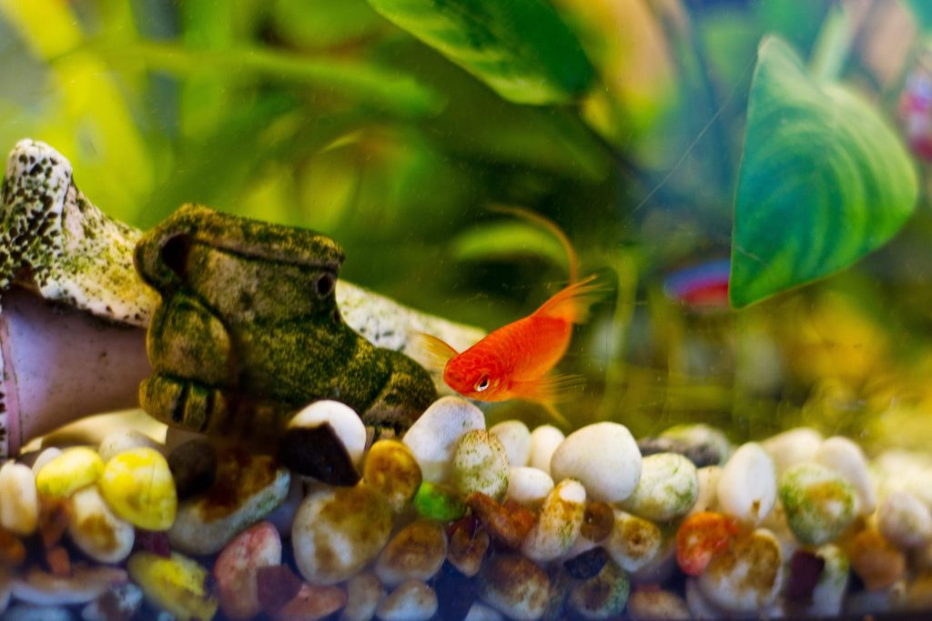 poisson qui se frotte au décors de l'aquarium