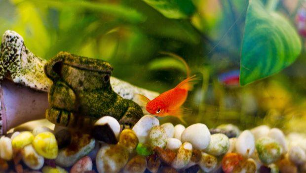 Mon poisson se frotte au décor : que faire ?