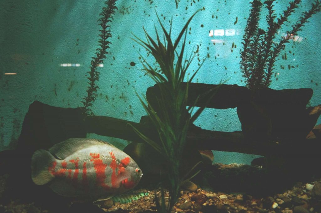 poisson au fond de l'aquarium