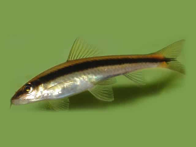 Poissons nettoyeurs les diff rentes esp ces leur utilit for Nettoyeur aquarium poisson
