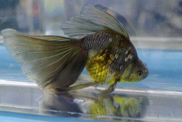 Le poisson rouge Queue-de-voile