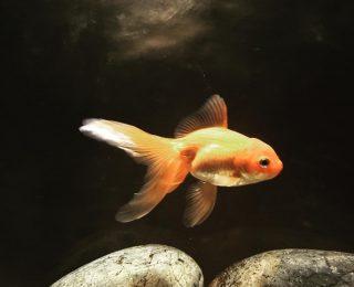 Nourriture du poisson rouge : quelle alimentation choisir ?