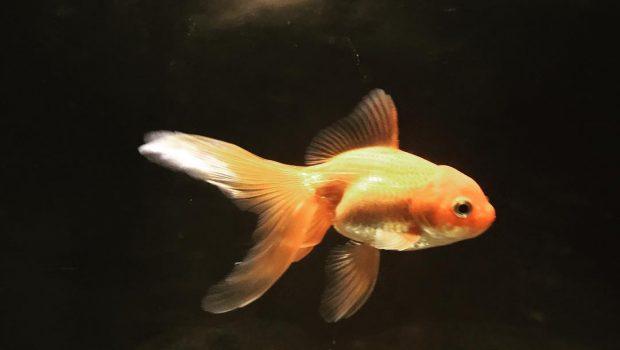 Comment nourrir un poisson rouge