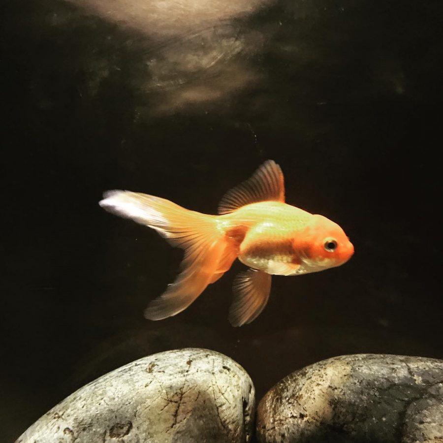 Comment nourrir son poisson rouge ?
