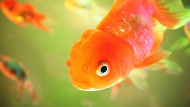 Les maladies des poissons rouges et leurs traitements