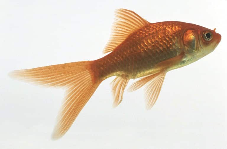 poisson rouge comète