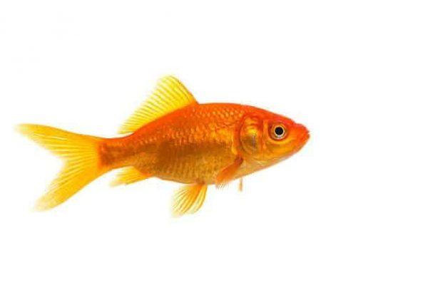 Le poisson rouge commun