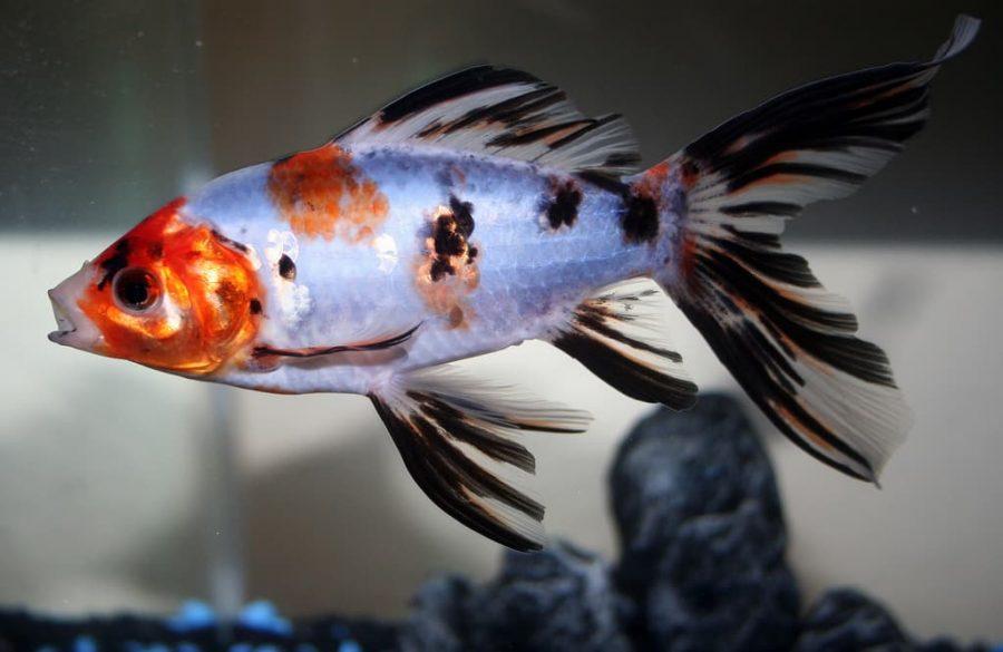 Le poisson rouge Shubunkin