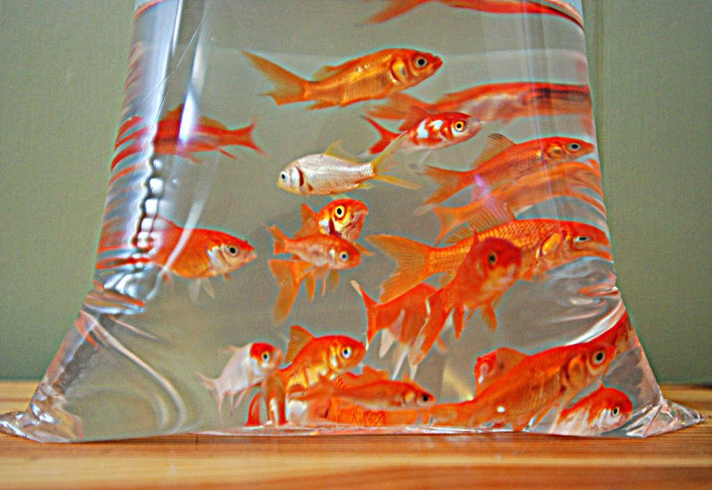 poissons introduits dans l'aquarium et dans un sac