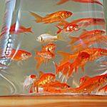 Ajouter des poissons rouges dans son aquarium