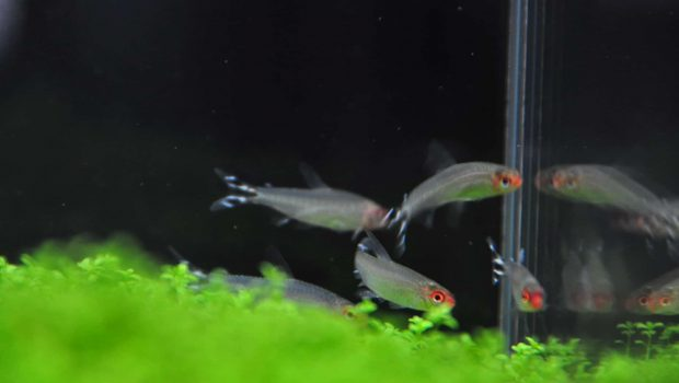 Les espèces de poissons d'eau douce compatibles