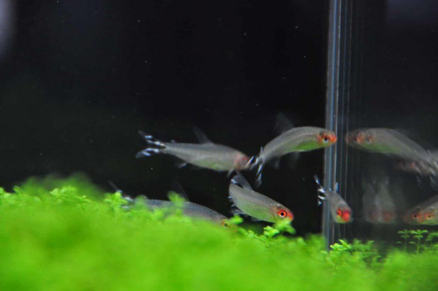 Compatibile specie di pesce d'acqua dolce