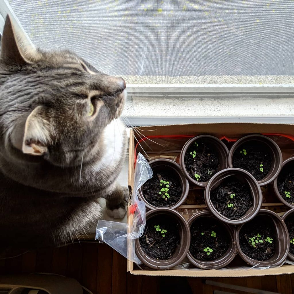 pots d'herbes à chat