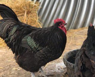 La coccidiose chez la poule : infos et traitement