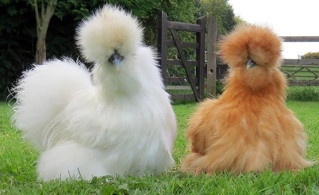 poule soie