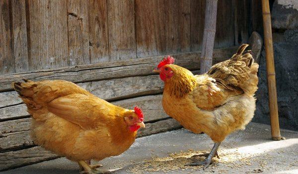 Que mangent les poules ?