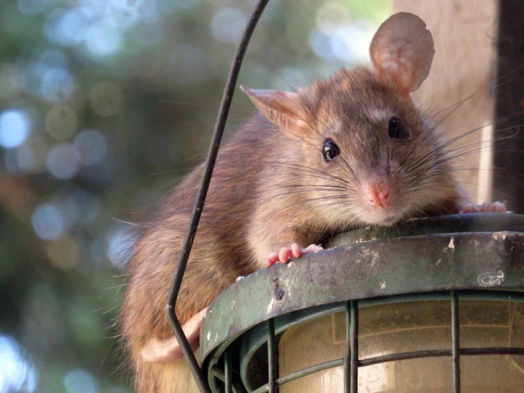 Rat de toit
