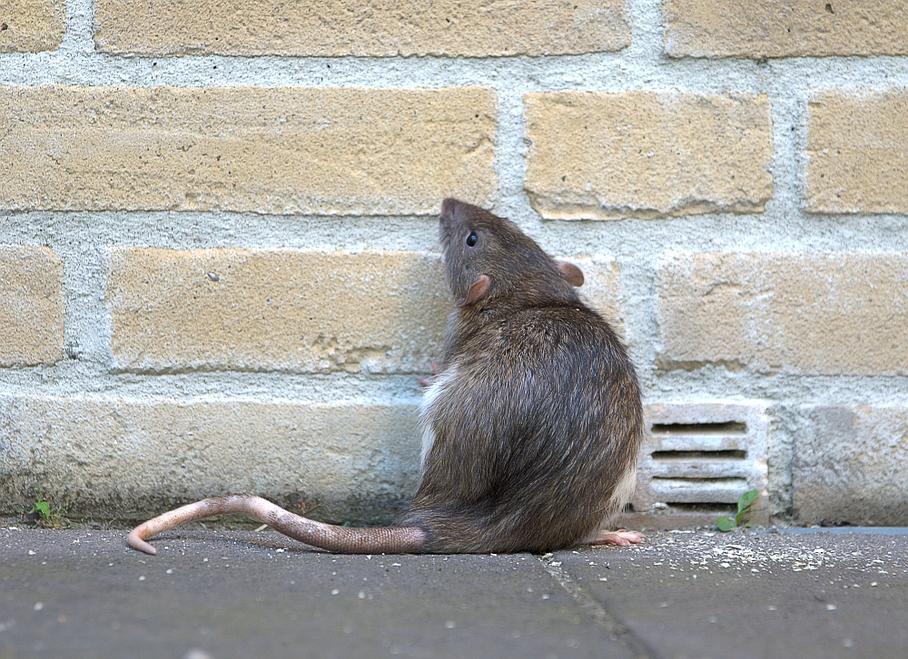 rat dans une maison