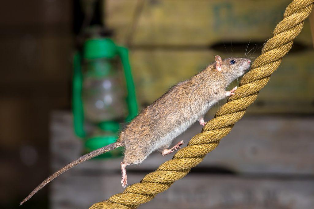 rat sur une corde de bateau