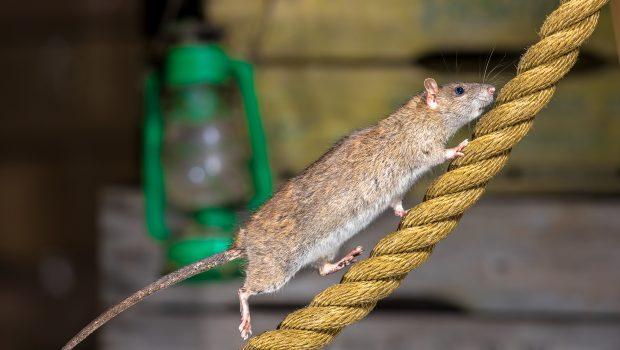 L'intelligence du rat : en quoi est-il un rongeur si intelligent ?