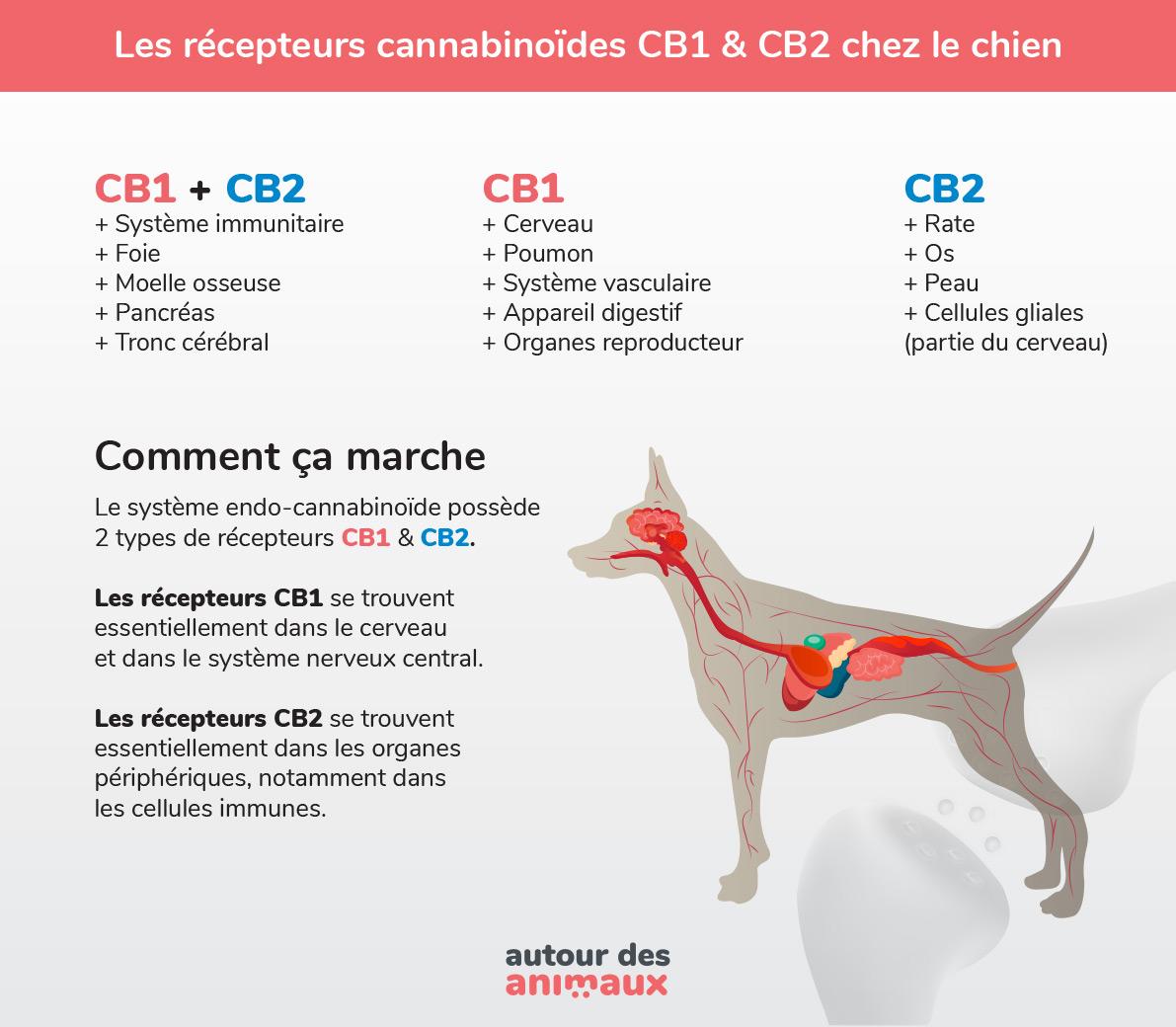 récepteurs CB1 CB2 chez le chien graphique explicatif