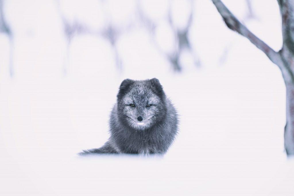 renard dans la neige espace négatif photographie