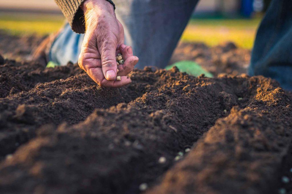 repiquer herbe à chat en pleine terre