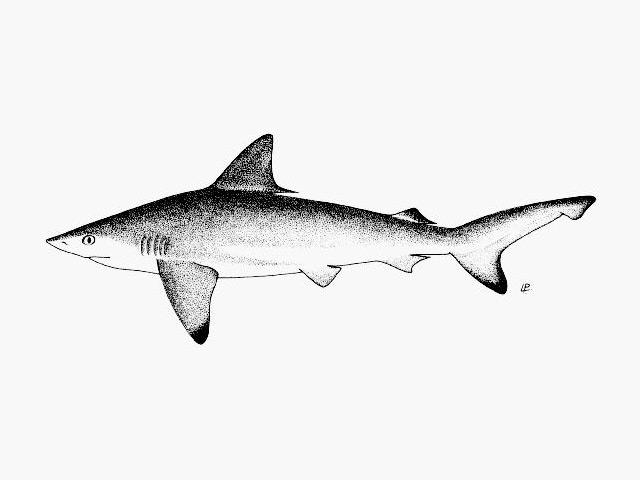 requin balai